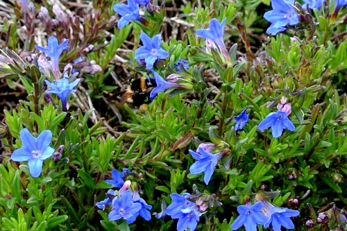 lithodora and bee