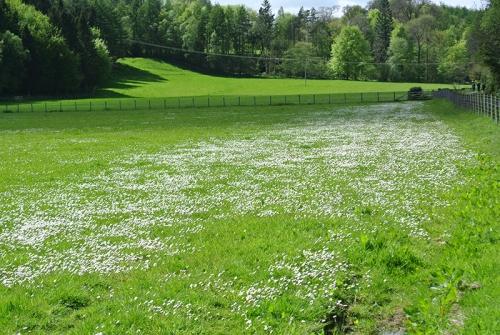 murtholm daisies