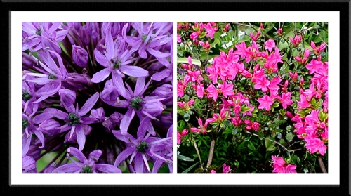 allium and japanese azalea