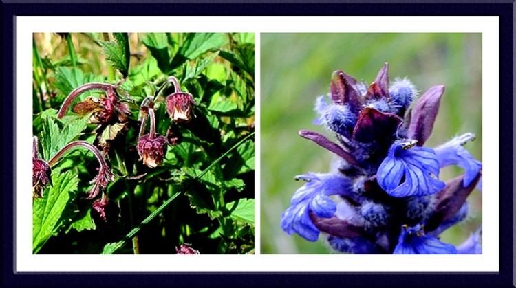 geum and blue flower