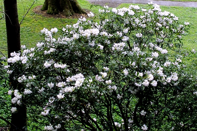 rhododendron in the park