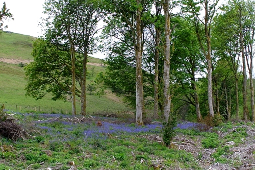 bluebells at Hopsrig
