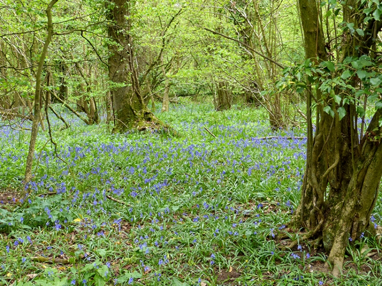 bluebell wood in Somerset
