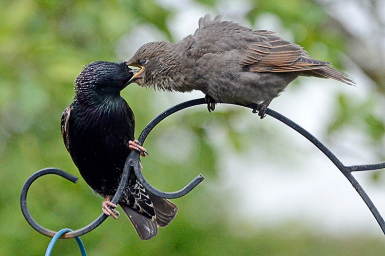 starlings and young