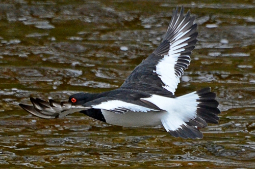 flying oyster catcher