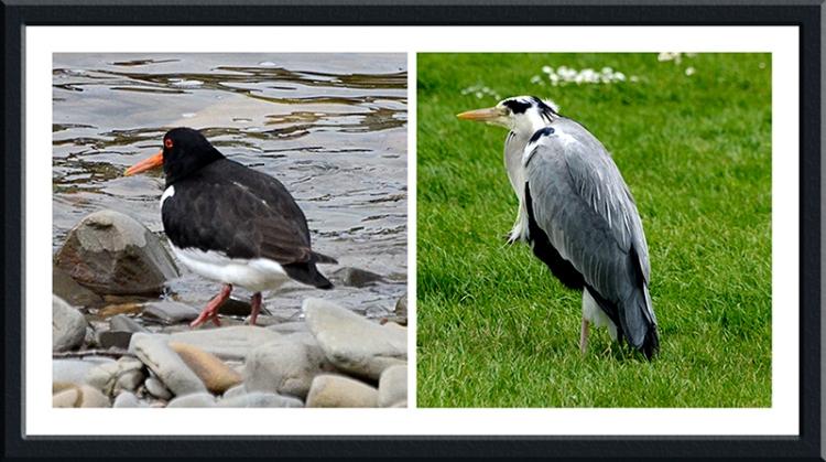 oystercatcher and heron