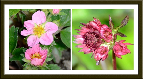 strawberry and astrantia
