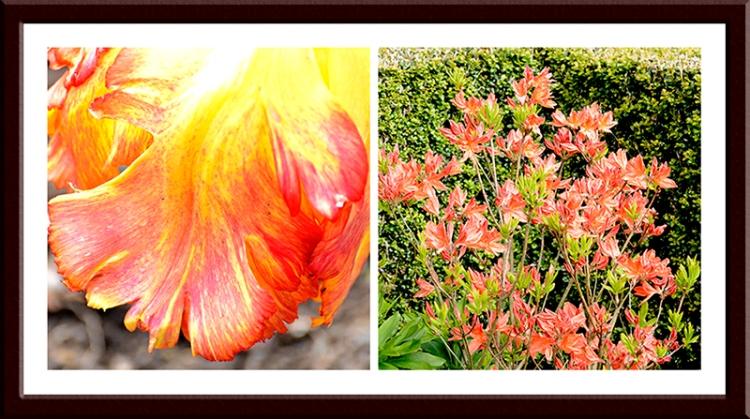 tulip and azalea