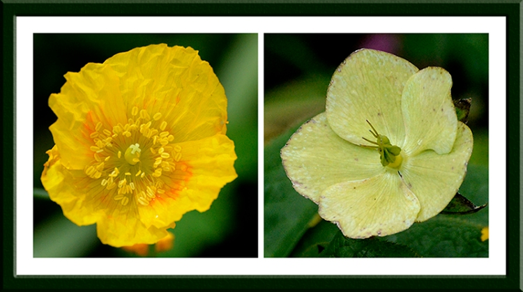 welsh poppy and hellebore