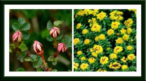 rose and euphorbia