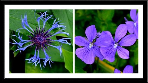 cornflower and viola