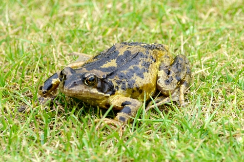 frog on lawn