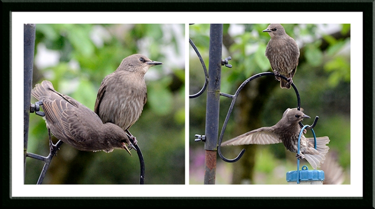 young starlings