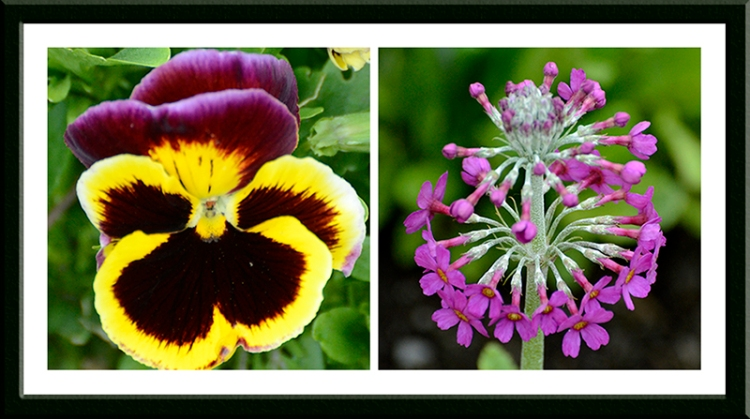 pansy and primula