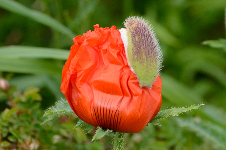 tulip emerging