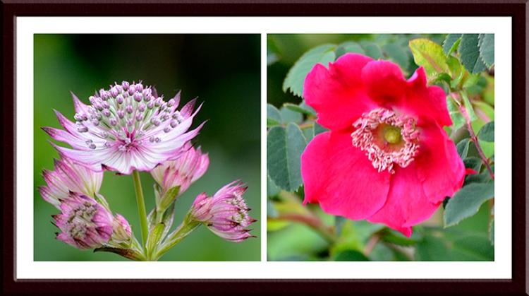 astrantia and rose