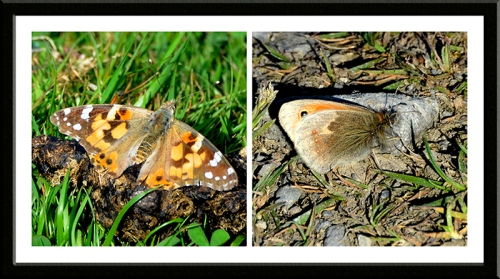 painted lady, orange tip butterflies
