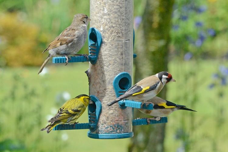siskin, goldfinch, sparrow