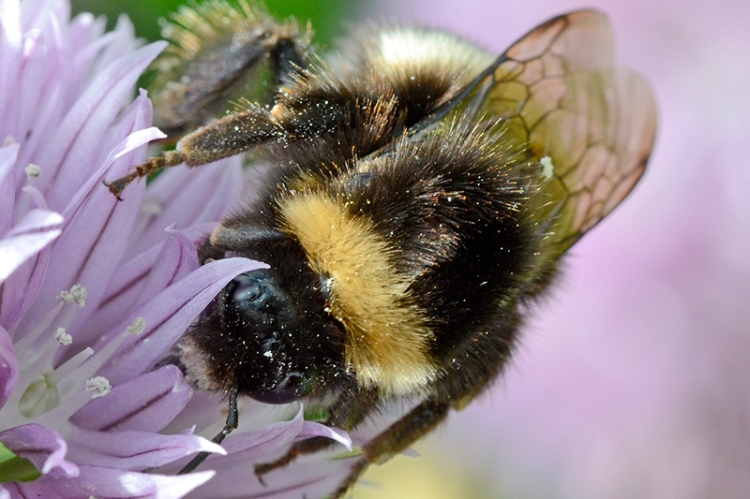 bee on chive