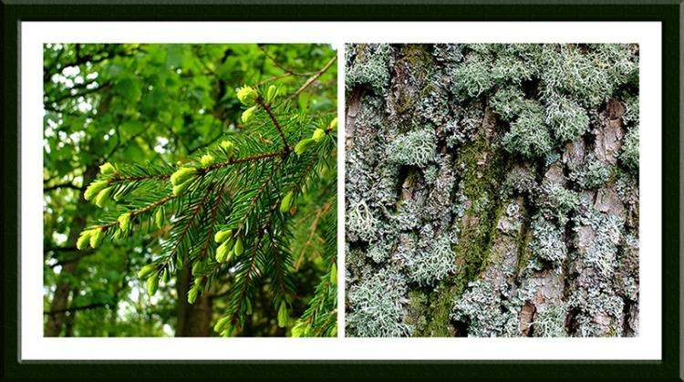 lichen and conifer