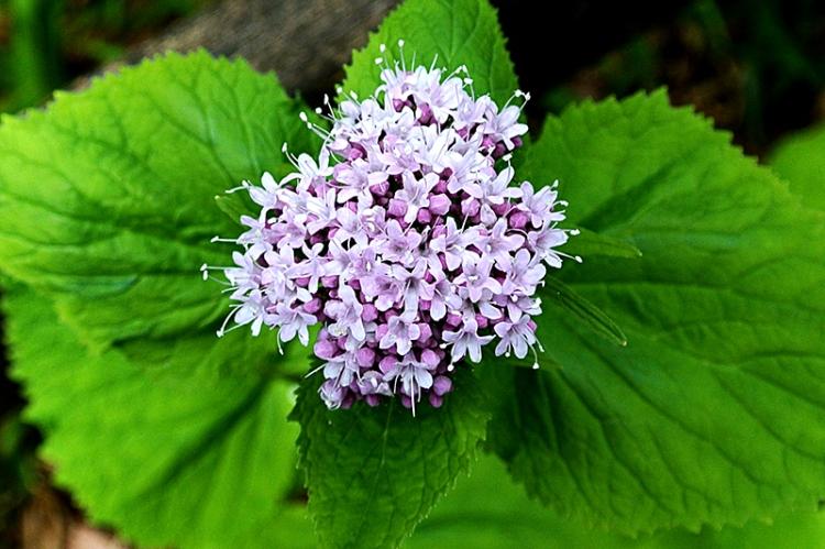 unknown pink wild flower