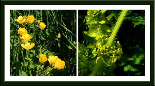 buttercup and crosswort