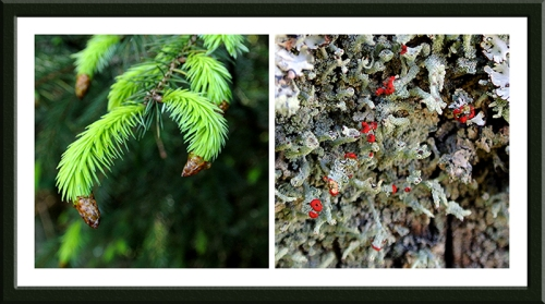 conifer claw and redcoat lichen