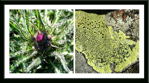 thistle and lichen