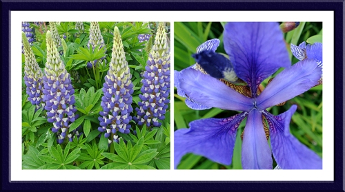 lupin and iris