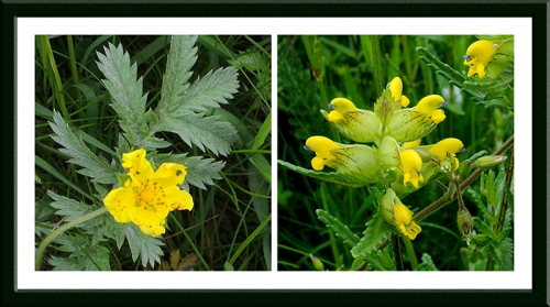 silverweed and rattle