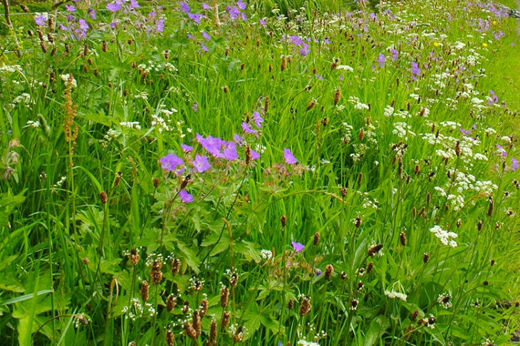 meadow verge
