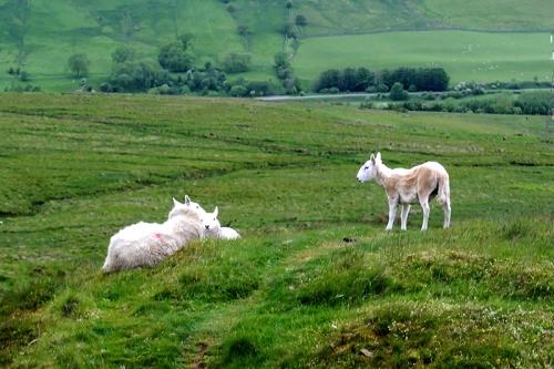 A little flock of sheep