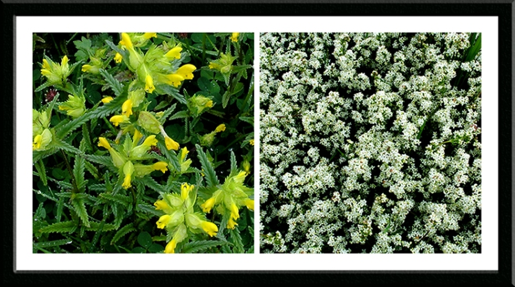 rattle and bedstraw