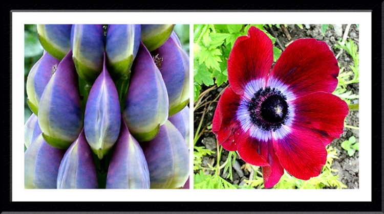 lupin and anemone