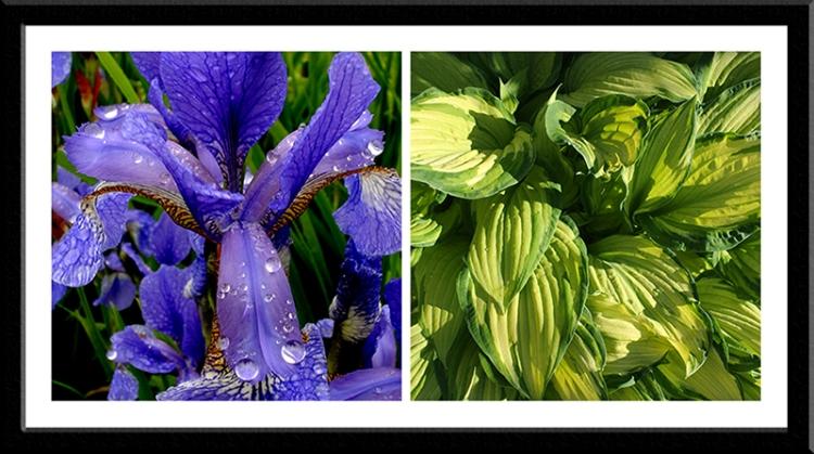 iris and hosta