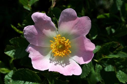 Hedge rose
