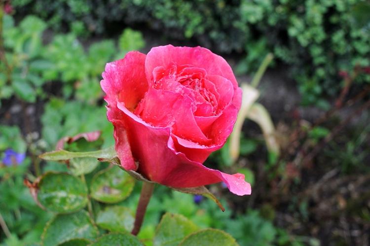 Lilian Austin rose