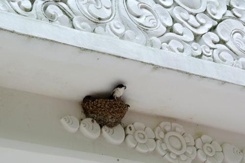swallows Samye Ling