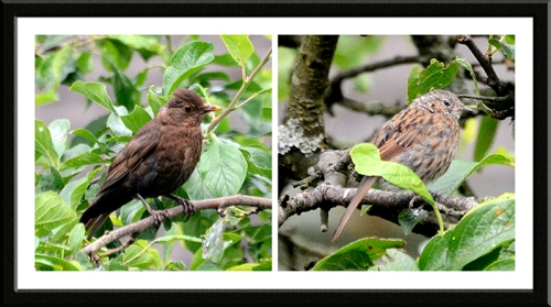 blackbird and dunnock