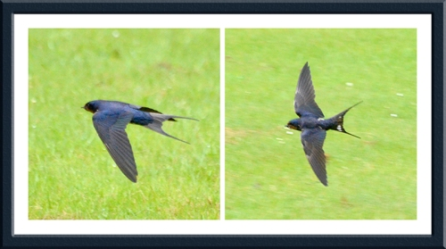 swallows in the park