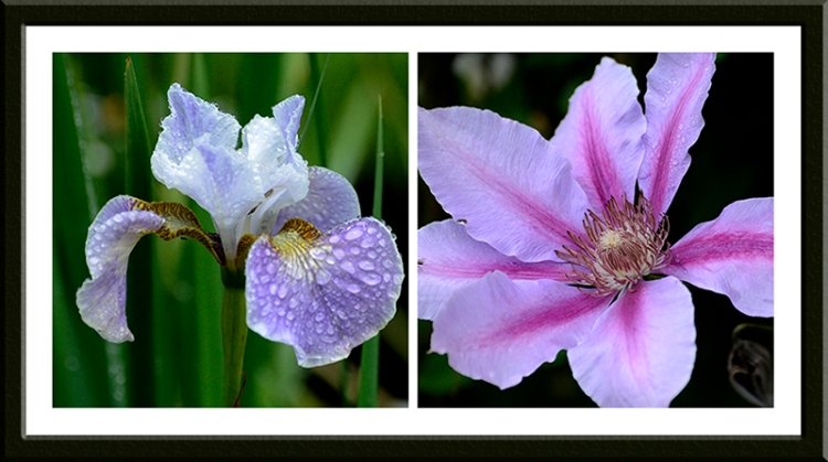 iris and clematis