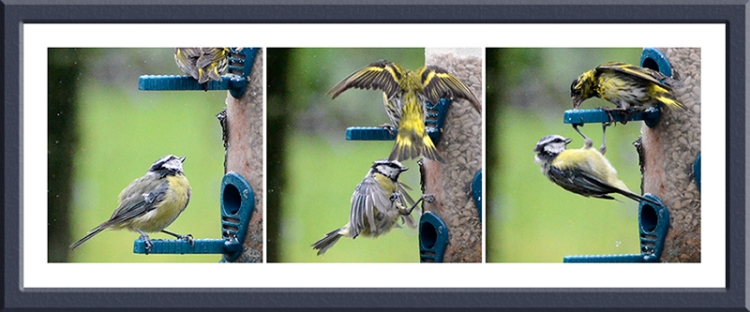 blue tit and siskin