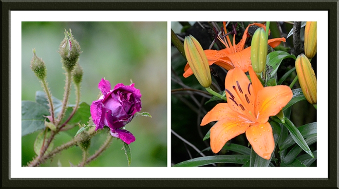 moss rose and lily