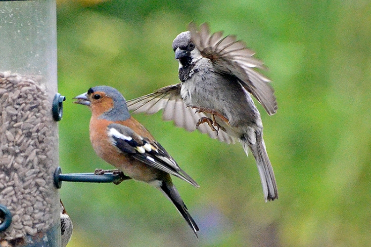 sparrrow and chaffinch