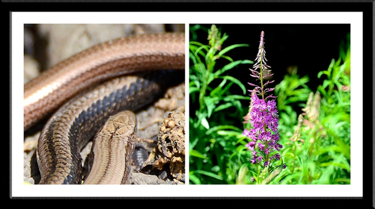 slow worm and rose bay willow herb