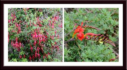Fuchsia crocosmia