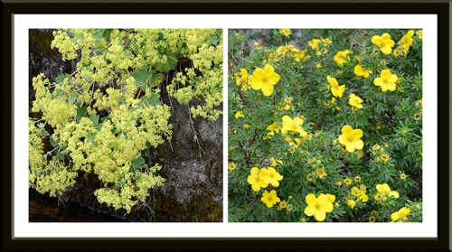 alchemilla and potentilla