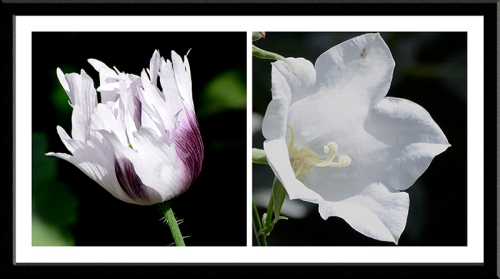 poppy and campanula