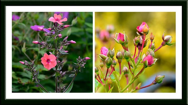 phlox and rambler rose