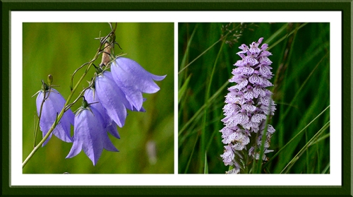 Harebell and orchid